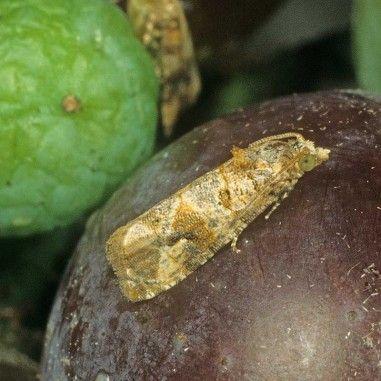 Phéromone pour lutter contre l'Eudémis de la vigne (Lobesia botrana)