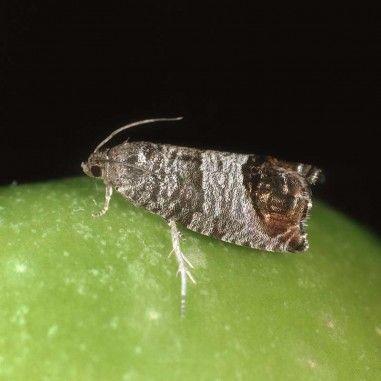 Phéromone pour lutter contre le carpocapse des pommes et des poires (Cydia pomonella ou Grapholita pomonella)