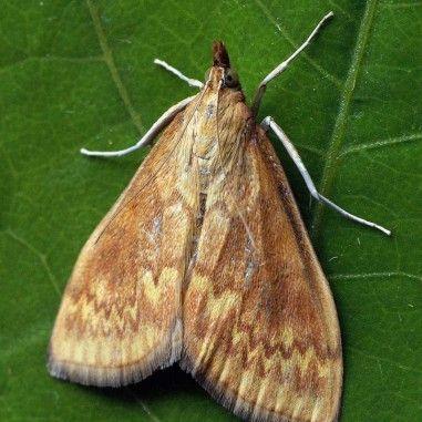 Phéromone pour lutter contre la Pyrale du maïs (Ostrinia nubilalis)