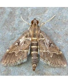 Duponchelia fovealis
