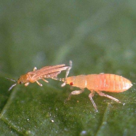 Orius laevigatus punaise prédatrice contre les thrips