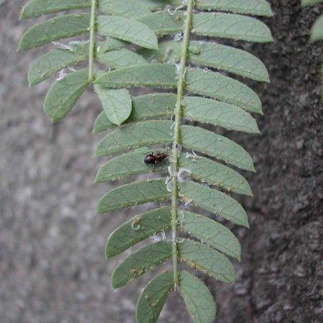 Anthocoris nemoralis contre le psylle du poirier