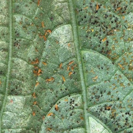 larve de Cécidomyie prédateur de pucerons sous serre