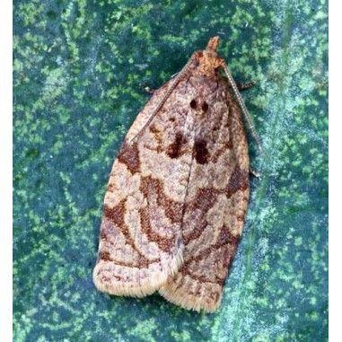 Phéromone contre la Tordeuse de la pelure Capua (Adoxophyes orana)