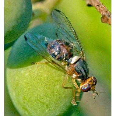 Phéromone contre la mouche de l'olive (Bactrocera oleae)