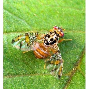 Phéromone contre la mouche méditerranéenne des fruits (Ceratitis capitata)
