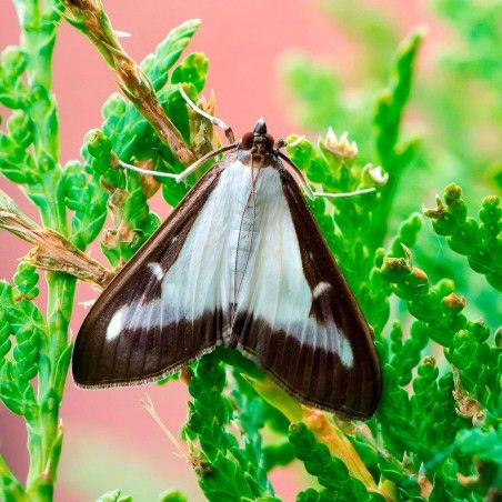 Phéromone pour lutter contre la Pyrale du buis (Cydalima perspectalis)