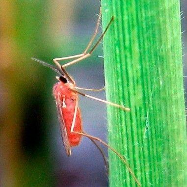Phéromone contre la Cécidomyie de l'écorce du framboisier (Resseliella theobaldi)