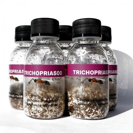 Trichopria drosophilae est un parasitoïde de Drosophila suzukii