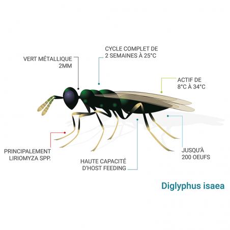 Schéma Diglyphus isaea