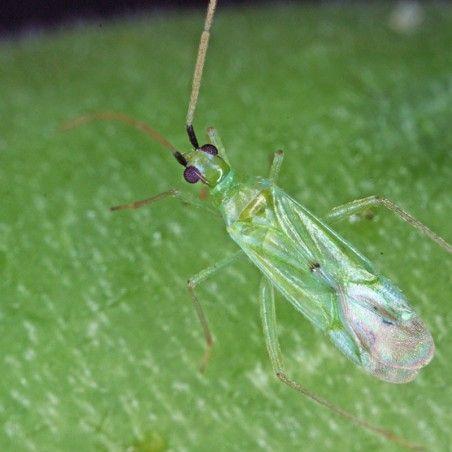 Macrolophus pygmaeus prédateur d'aleurodes