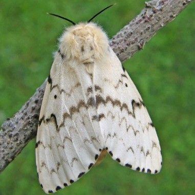 Phéromone contre Lymantria dispar, appelé leBombyx. Ravageur de forêt de feuillus, chênaies.