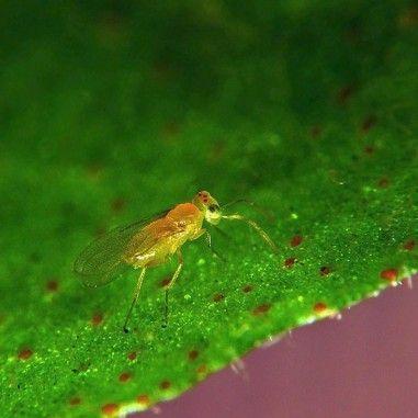 Eretmocerus eremicus parasitoïde d'aleurodes