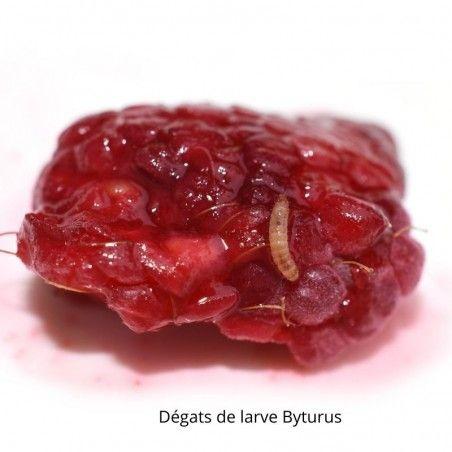 Dégâts de larve Byturus sur framboise