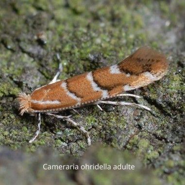 Phéromone contre Cameraria ohridella, papillon dont la chenille ravageuse est connu sous le nom mineuse ou teigne du marronnier.