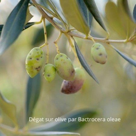 Dégat sur olive par Bactrocera oleae
