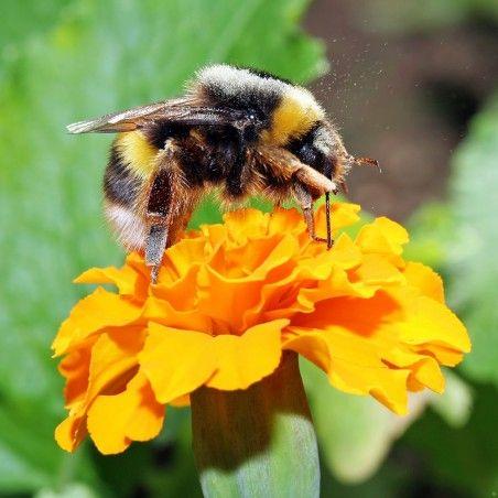 Bourdon pollinisateur (Bombus terrestris)