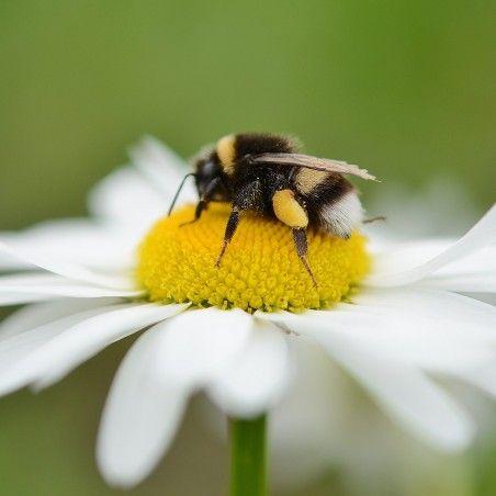 Pollinisation par des bourdons (Bombus terrestris)