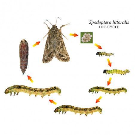 Cycle de vie de la phéromone Spodoptera littoralis