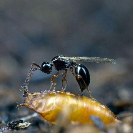 Trichopria drosophilae parasitoïde de Drosophila suzukii
