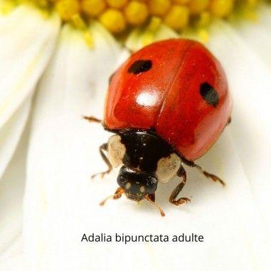 Coccinelle à deux points Adalia bipunctata prédatrice de pucerons