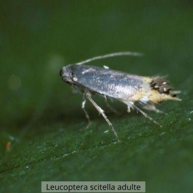 Phéromone Leucoptera scitella
