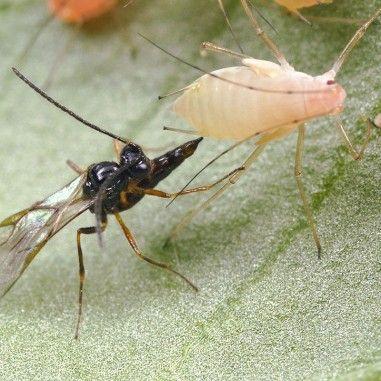 Aphidius ervi parasitoïde de pucerons