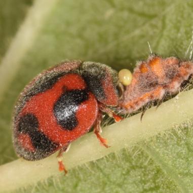 Coccinelle Rodolia cardinalis prédatrice de cochenilles Icerya purchasi