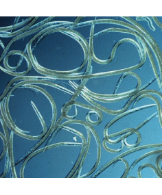 Steinernema feltiae
