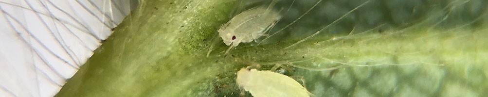Lutte biologique contre les pucerons | INSECTES UTILES