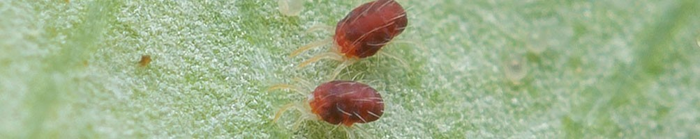 Lutte biologique contre le Tétranyque et autres acariens | INSECTES UTILES