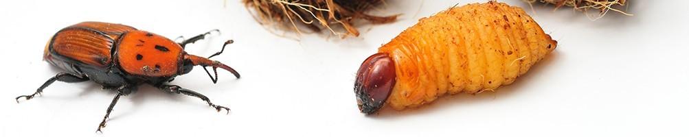 Lutte biologique contre le charançon du palmier | INSECTES UTILES