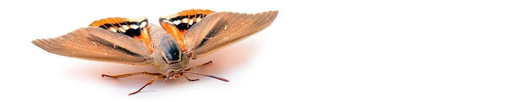 Lutte biologique contre le papillon du palmier | INSECTES UTILES