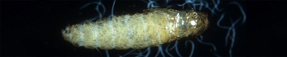 Nématode Heterorhabditis bacteriophora (Hb) | INSECTES UTILES