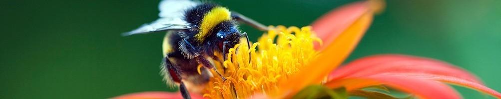 Les insectes pollinisateurs pour vos cultures | INSECTES UTILES