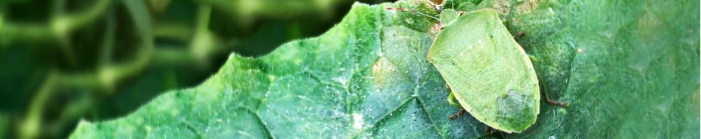Lutte biologique contre la Punaise verte ponctuée | INSECTES UTILES