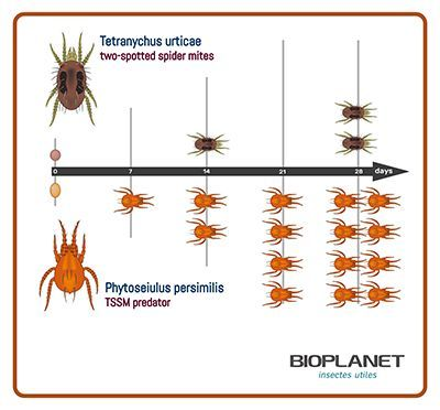 Tetranychus urticae (Tétranyque tisserand) VS prédateur Phytoseiulus persimilis