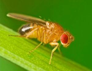 Lutter contre les Mouches à fruits