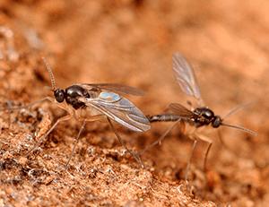 Lutter contre la mouche des terreaux