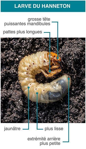 Description larve du hanneton