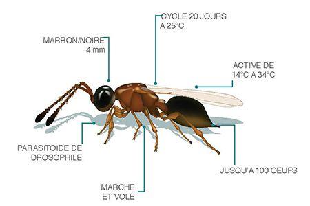 schéma d'un Trichopria drosophilae