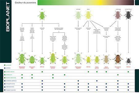 Guide d'identification des espèces de pucerons