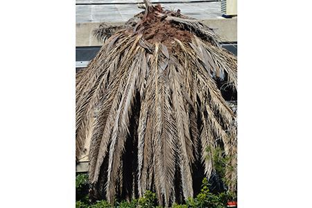 Ravages du charançon rouge des palmiers