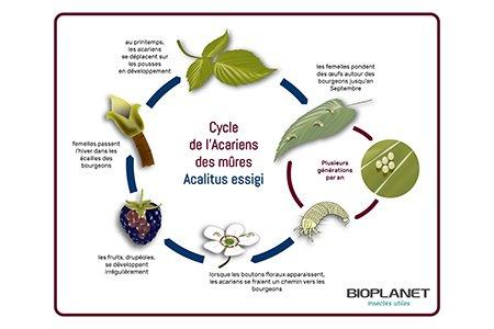 Cycle de l'acarien des mûres : Acalitus essigi