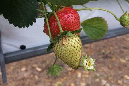 Bronzure typique sur fraise