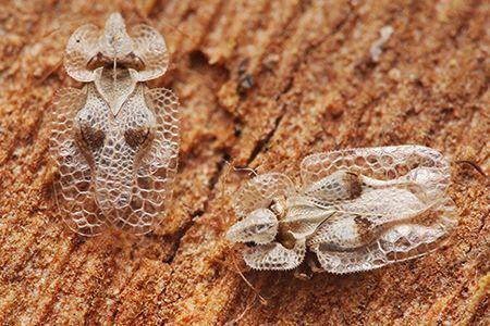 Lutte biologique contre le Corythucha ciliata