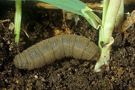 larve de tipule (cousin)