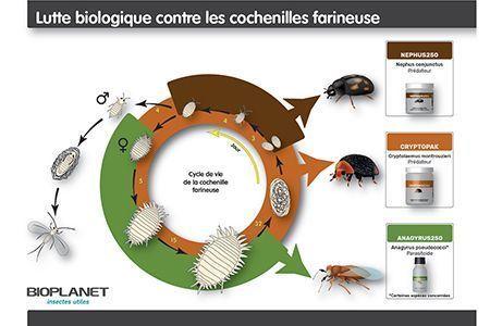 Lutte biologique contre les cochenilles farineuses