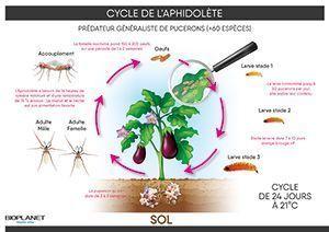Cycle de l'Aphidolète