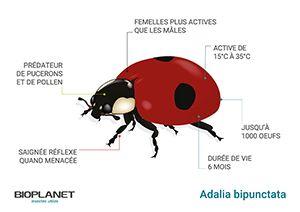 Schéma Coccinelle Adalia bipunctata